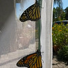 On October 21, 2016, Monarchs #1,400 (a female - the butterfly at the top) and #1,401(a male) were born and released into the world!