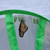 A male Monarch Butterfly a few moments after he emerged from his chrysalis...safe inside the castle.  In the foreground are two other Monarchs ready to emerge (their chrysalises have turned opaque and the butterflies can be seen)  and five green chrysalises.