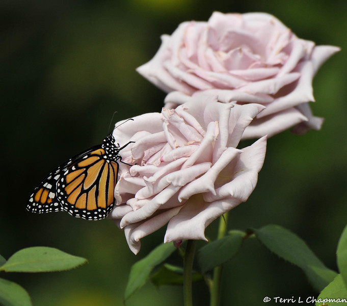 A beautiful male Monarch Butterfly born in my garden on October 19, 2015. I had 17 Monarchs born in the late afternoon and could not release them until the next day and this male was flying around my garden checking out the food sources.