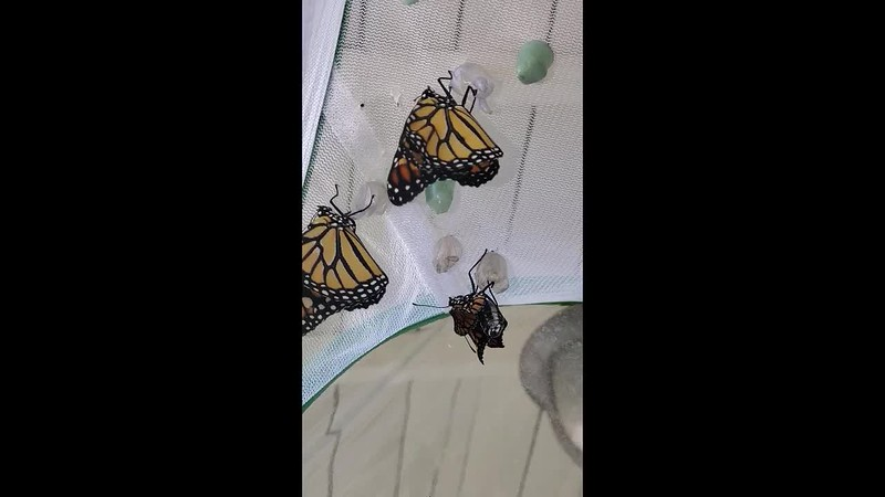 MONARCH #2,593 BEING BORN AND RELEASED ON SEPTEMBER 8, 2019