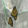 On December 7, 2016, Monarchs #1,499 and #1,500 (both males) were born and released into the world!