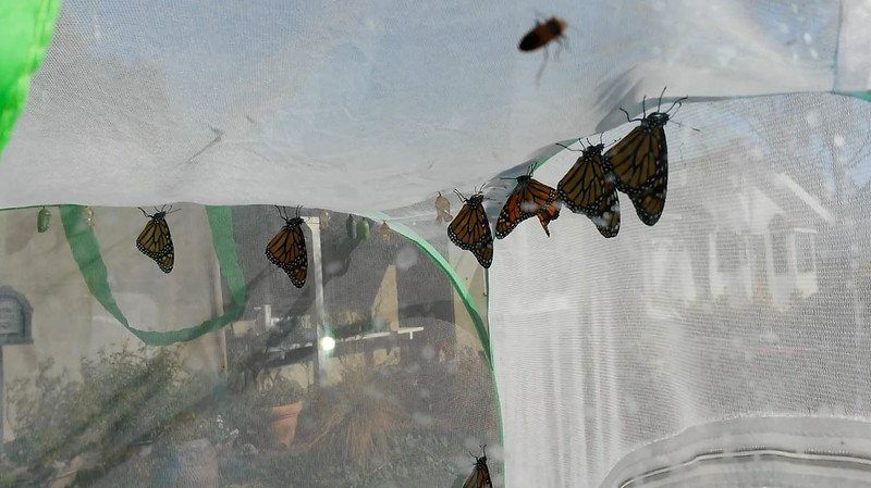 It was a milestone day on November 8, 2015 when my 1000th Monarch, a male,  was born along side six more Monarchs in the same mesh cage. A total of nine Monarchs were born that day - 4 females and 5 males.