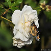 "On February 3, 2015, which was 20 days after the caterpillar formed the chrysalis, a female Monarch Butterfly emerged around 1:00 pm. The Monarch chose to dry her wings on a nearby ""Iceberg"" rose."