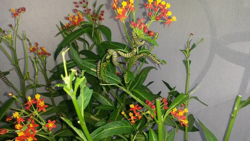 Monarch caterpillars munching on Milkweed photographed August 18, 2015