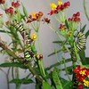 MONARCH CATERPILLARS HAPPILY MUNCHING ON MILKWEED WITH A MOMENT OR TWO OF TERRITORY FIGHTING
