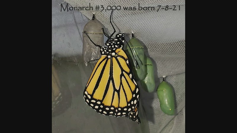 A short video of my milestone Monarch #3,000 flying free for the first time.