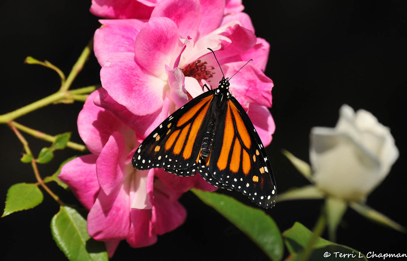 A beautiful female Monarch Butterfly drying her wings on an Iceberg rose. This Monarch was born in my garden on May 3, 2015.