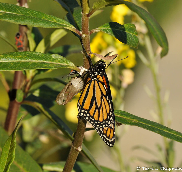 On February 1, 2015, which was 18 days after the caterpillar formed the chrysalis, a male butterfly emerged around 2:30 pm. The thread on the chrysalis is from January 26, 2015, when wind dislodged the chrysalis from the leaf, and I had to reattach it with thread. Also, there is a Milkweed bug on top of the chrysalis.