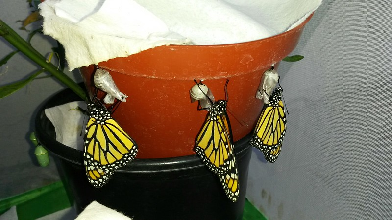 On the morning of August 27, 2015, I had 14 Monarchs born - 5 females and 9 males! Three of the Monarchs (1 female and 2 males) had formed their chrysalises on a small Milkweed pot and I had to place the pot on top of another pot to ensure the butterflies had enough room to hang properly to dry their wings.