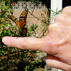 This is a photograph of me releasing my 900th Monarch Butterfly, a female, as she prepared to lift off my finger for her first flight to freedom.