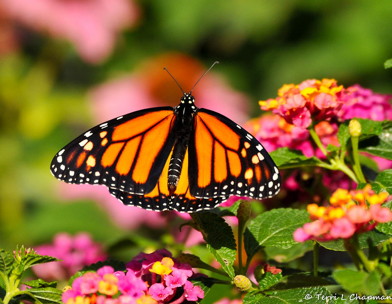 On September 4, 2015, Monarch #538 was a male and he was released into my yard a few hours after he (although you cannot see the two black spots on his hind wings) was born.