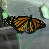 A beautiful female Monarch born on September 24, 2016