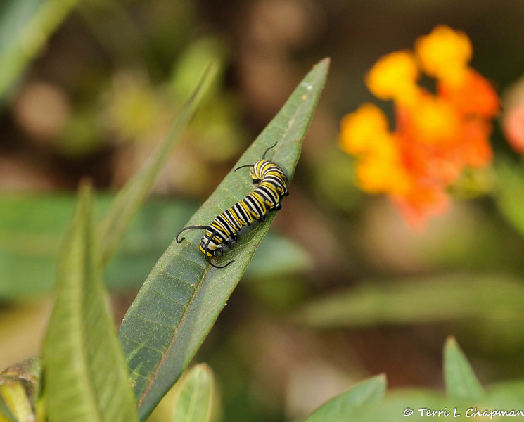 This beautiful Monarch caterpillar was photographed March 23, 2015 and was about three weeks old. The following day this caterpillar was preparing to form its chrysalis.