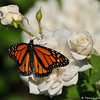 A beautiful male Monarch Butterfly sipping nectar from an Iceberg rose.  This Monarch was born in my garden on October 22, 2015.