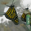 Monarchs #2,400 (a female) and Monarch #2,401 (a male) were born on January 29, 2019 and released into my garden the same day.