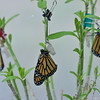A male and 2 female Monarchs drying their wings in their mesh cage. These Monarchs were born on October 19, 2015. I had to relocate the chrysalises of these butterflies to another cage for safety (other hungry caterpillars were eating the leaves their chrysalises were hanging from) and that is why they are hanging on empty chrysalises strung with dental floss and binder clips!