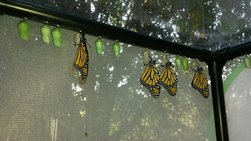 This photograph was taken on September 8, 2015 and shows four male Monarchs that have just been born and hanging from their chrysalises to dry their wings.
