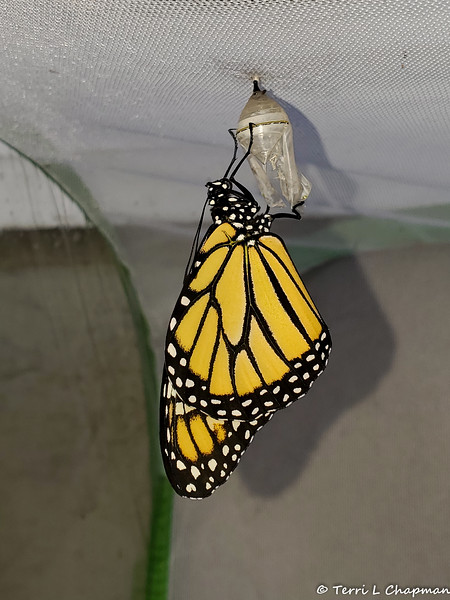 Monarch #2,600 was a female born on September 16, 2019 and released the same day.
