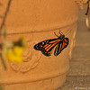 The very first time this female Monarch Butterfly was stretching her wings and showing her stunning colors!