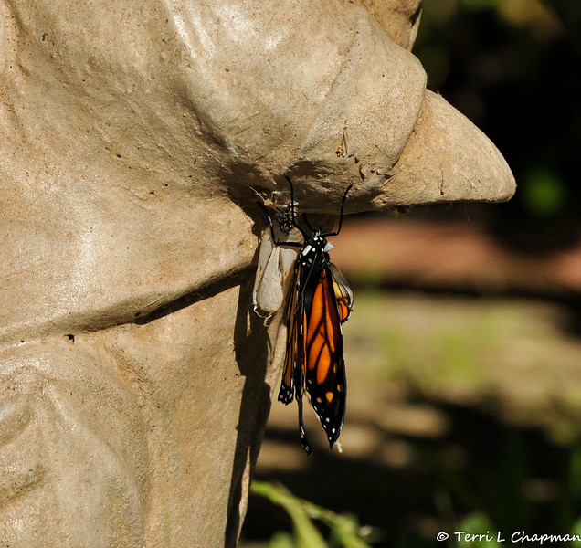 On January 25, 2015, which was 21 days after the caterpillar formed the chrysalis, the butterfly began to emerge around 12:30 pm.  In this image, the wings have begun to lay flat as they dry in the sun.