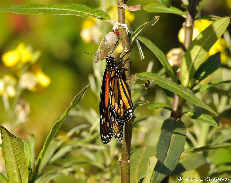 On February 1, 2015, which was 18 days after the caterpillar formed the chrysalis, a male butterfly emerged around 2:30 pm and in this image you can see bubbles have formed in the right wing. These bubbles affected the butterfly's ability to fly. I brought the Monarch into my home overnight to monitor the butterfly and the bubbles remained through the night. In the morning I made the decision to release the fluid by pressing the wing and green fluid came out. I let the butterfly dry for a few hours and then I took him outside and within minutes he took flight and left my garden. Hooray!!