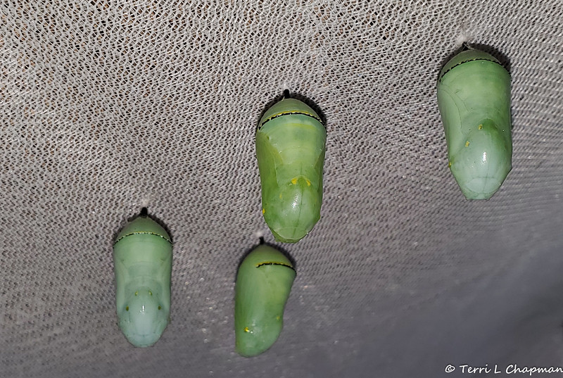 This photograph, of four Monarch chrysalises hanging from the top of one of my butterfly mesh cages, was taken on May 12, 2019 .