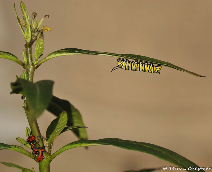 An 8 day old baby Monarch Caterpillar resting under a leaf of a Milkweed plant. There are three Milkweed Bugs in the lower left hand corner of the image.