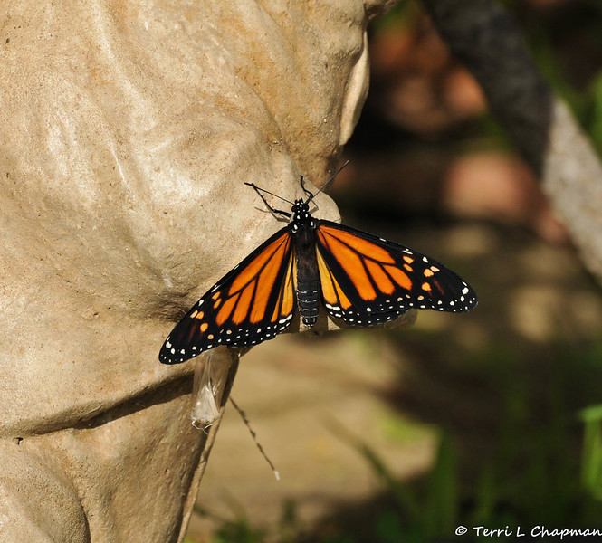 On January 25, 2015, which was 21 days after the caterpillar formed the chrysalis, the butterfly began to emerge around 12:30 pm.  In this image, the butterfly spread his wings out and look at how pristine the wings are! Although you cannot see the two dark spots on the wings, this is a male Monarch.
