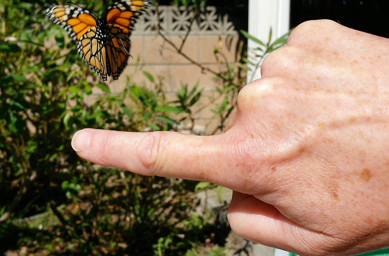 This is a photograph of me releasing my 900th Monarch Butterfly, a female, as she takes her first flight to freedom.