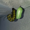 "A Monarch caterpillar in the ""J"" position, along side a Monarch chrysalis."