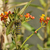 Two Monarch Caterpillars moving along a Milkweed plant. There is also a ladybug at the top of the plant.