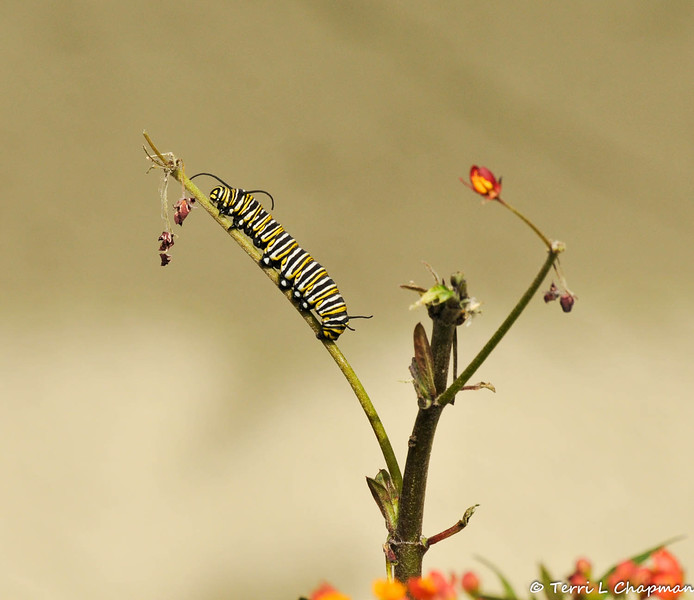 A Monarch Caterpillar climbing up a stem of a Milkweed plant, but the stem had already been stripped of its flowers.