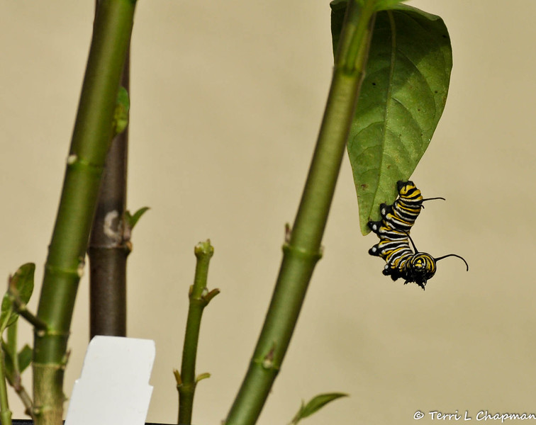 A Monarch Caterpillar hanging off a leaf of a Milkweed plant.