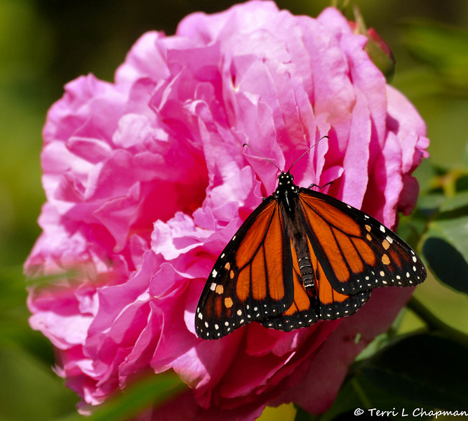 "This beautiful male Monarch Butterfly was visiting my garden on April 19, 2015 and came to rest on an ""Elizabeth Taylor"" rose."