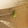 This is a second Monarch caterpillar in the process of forming a chrysalis on one of my flower pots.