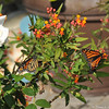 Two female Monarch Butterflies laying eggs on one of my Milkweed plants in my front yard.