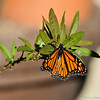A visiting female Monarch Butterfly laying eggs on one of my Milkweed plants.