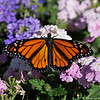 A male Monarch Butterfly resting on Verbena blooms. This Monarch was born in my garden on June 19, 2015.