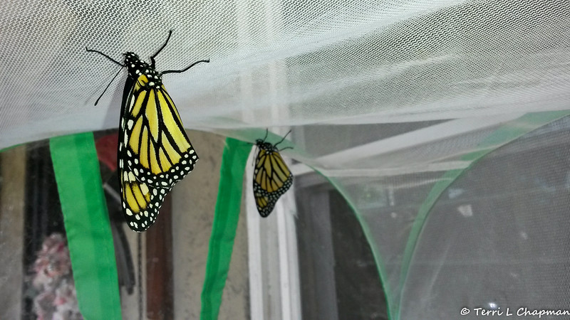 On March 9, 2017, Monarchs number #1,699 and #1,700 were born and both butterflies were females.