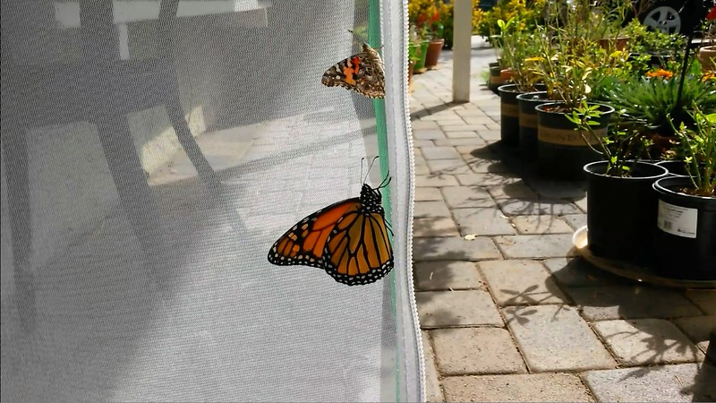 On October 28, 2015, a male Monarch and a Painted Lady butterfly were born!!