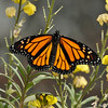 The male Monarch took another short flight from the floribinda rose  to this flowering plant.