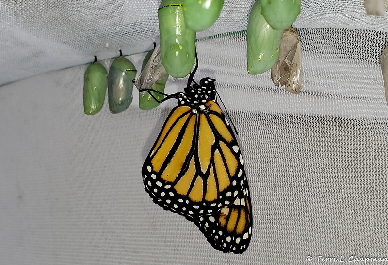 Milestone Monarch #2,500 was a male, born on June 1, 2019. Because the weather was cool and overcast when he was born, he was released the next day.