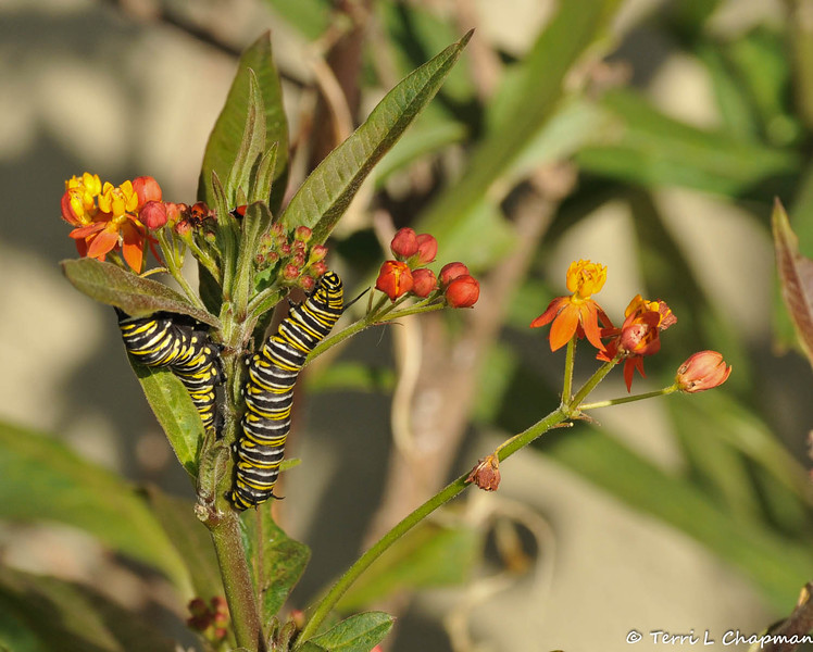 Two Monarch Caterpillars eating the flowers off a Milkweed plant. There is also a ladybug and a Milkweed bug at the top of the plant.