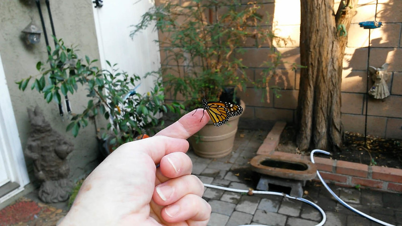 Here is the tiny male Monarch, born on September 9, 2015, on my finger so you can see his size.