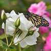 A beautiful male Monarch Butterfly drying his wings on an Iceberg rose. This Monarch was born in my garden on May 9, 2015.