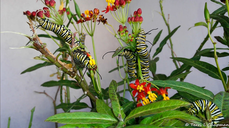 Monarch Caterpillars munching on Milkweed