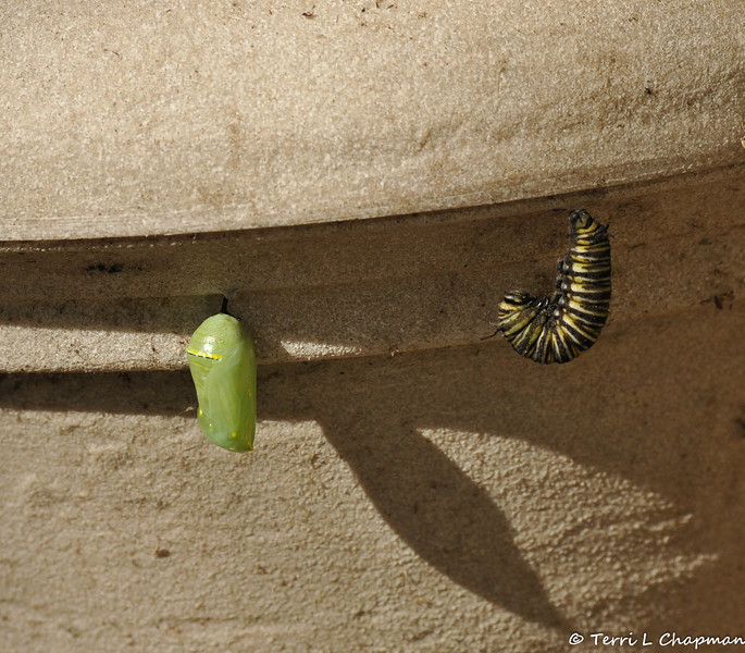 This is the third Monarch Caterpillar getting ready to pupate on the same flower pot.