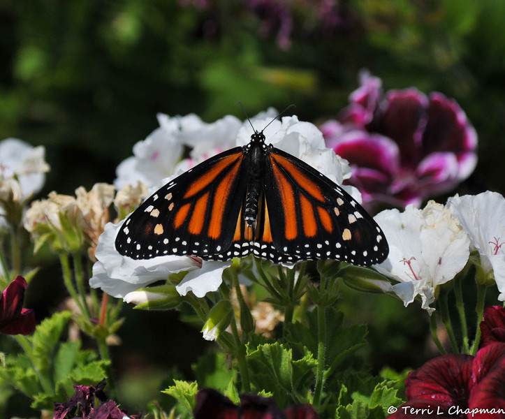 This female was my 1,300th Monarch Butterfly born and released into my garden on Saturday May, 21, 2016.