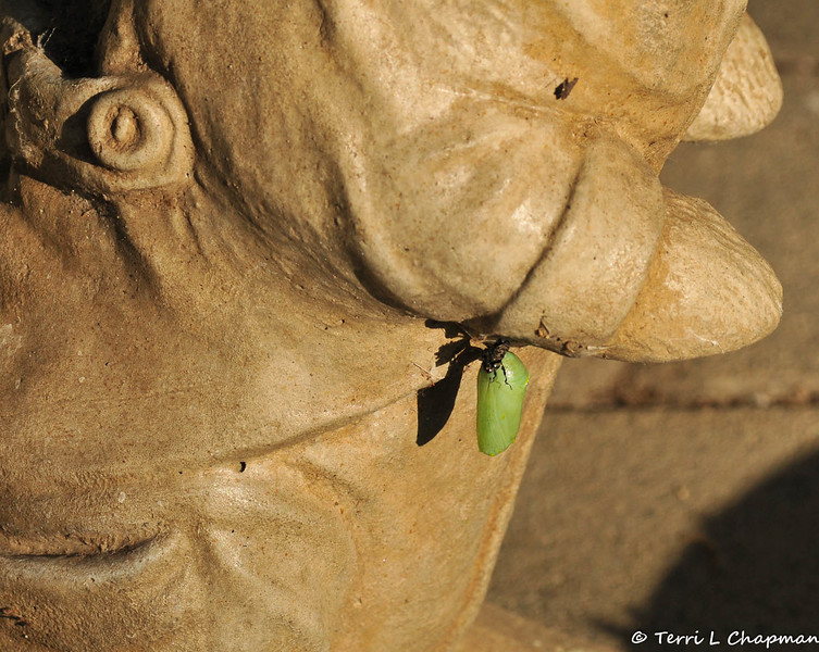 On January 4, 2015, this Monarch caterpillar formed a chrysalis on my rabbit garden statue. You can see the skin that the caterpillar shed on the top chrysalis.