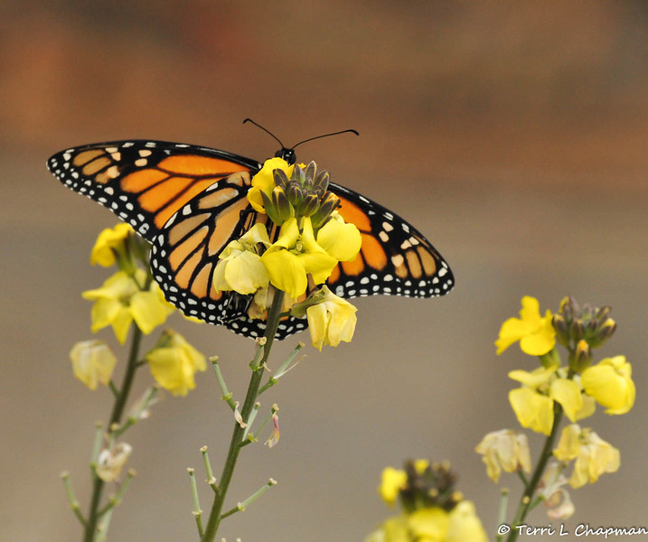 The underside of the male Monarch.